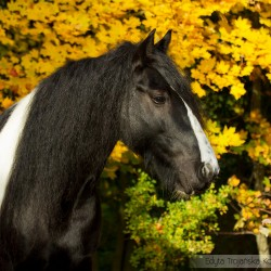 Portrait of piebald Tinker mare in autumn against maple yellow leaves