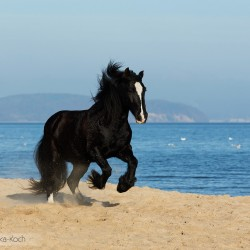 Black Tinker mare galloping in autumn on the beach by the sea against blue sky
