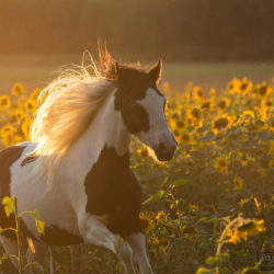 Portrait of Gypsy Cob mare among sunflowers