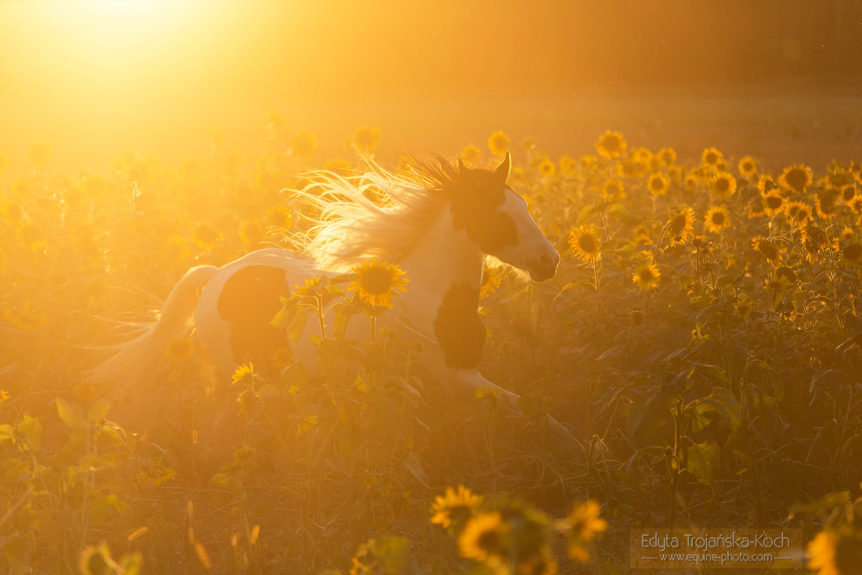 Gypsy Cob mare galloping among sunflowers at sunset