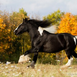 Piebald Tinker mare galloping in autumn in a field against yellow trees