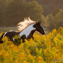 Piebald Tinker mare galloping in autumn through mimosas at sunset