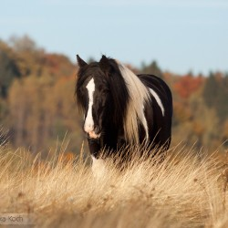 Piebald Tinker mare walking in autumn through the grasses against colourful trees