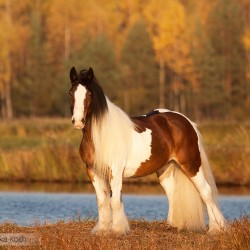 Piebald Tinker mare standing in autumn by the water against yellow forest at sunset