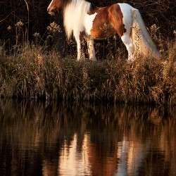 Piebald Tinker mare standing by the water against forest at sunset