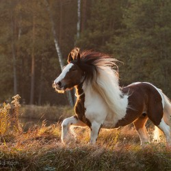 Piebald Tinker mare galloping in autumn against forest at sunset