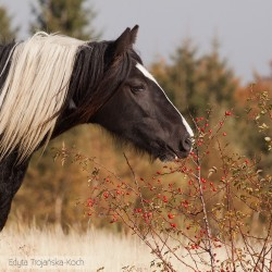 Portrait of piebald Tinker mare in autumn by the hawthorn