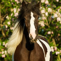 Portrait of piebald Tinker filly in spring against pink acacias