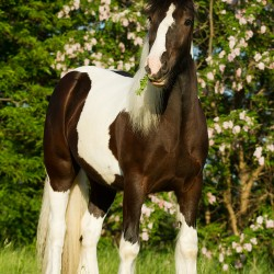 Piebald Tinker filly standing in spring against pink acacias