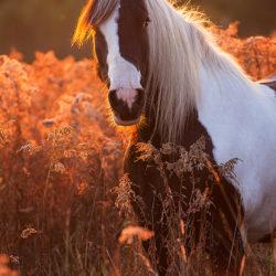 Klacz Irish Cob jesienią wśród traw o zachodzie