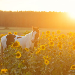 Gypsy Cob mare standing among sunflowers at sunset