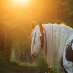 Portrait of Irish Cob in the forest at sunset