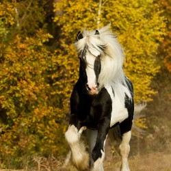 Piebald Tinker stallion galloping in autumn against yellow trees of the forest