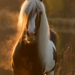 Backlight portrait of piebald Tinker stallion in autumn at sunset by the pond