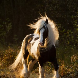 Tinker stallion piebald trotting in autumn scenery against forest at sunset