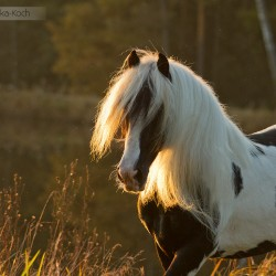Backlight portrait of piebald Tinker stallion in autumn scenery at sunset by a pond