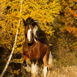 Piebald Tinker gelding galloping in autumn against yellow trees of the forest