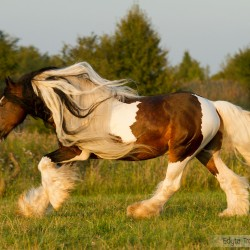 Piebald Tinker stallion with long mane galloping in autumn in a field