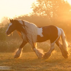 Piebald Tinker stallion with long mane trotting in autumn at sunrise in misty morning
