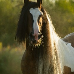 Portrait of piebald Tinker stallion with long mane in autumn at sunrise