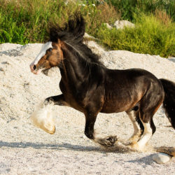 Gypy Cob stallion galloping on the beach