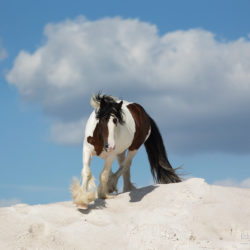 Gypsy Cob stallions trotting on the white sand