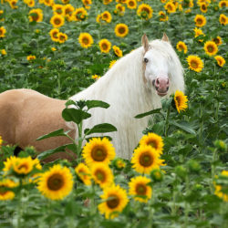 Gypy Cob stallion standing in the field of sunflowers