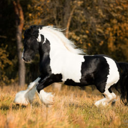 Tinker stallion galloping in autumn against forest