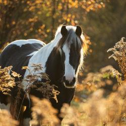Portret klaczy Irish Cob wśród jesiennych traw o wschodzie