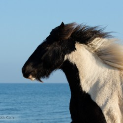Portrait of piebald Tinker gelding galloping on the beach by the sea in autumn