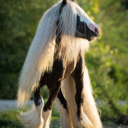 Gypy Cob stallion in the summer