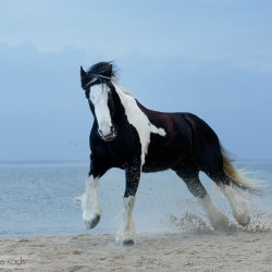 Piebald Tinker gelding galloping on the beach in autumn