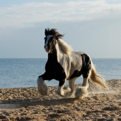 Piebald Tinker gelding galloping on the beach at sunrise