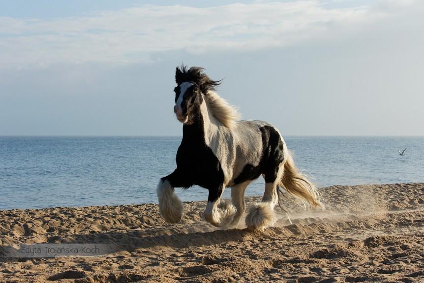 Piebald Tinker gelding galloping on the beach at sunrise