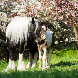 Tinker mare with foal in the orchad