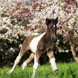 Tinker foal galloping in orchad in spring