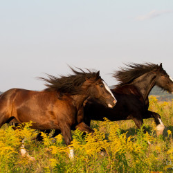 Tinker geldings galloping through the field of goldenrod