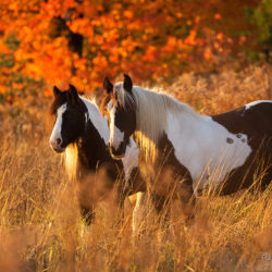 Gypsy Cob and Irish Cob mares in autumn at sunset