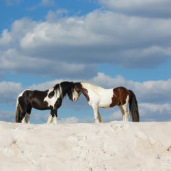 Ogiery gypsy cob na białym piasku