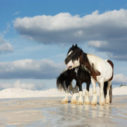 Gypsy Cob stallions standing on the white sand