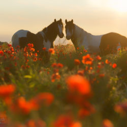 Gypsy Cob stallions standing among poppies at sunrise