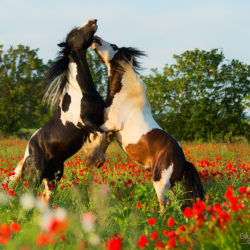 Gypsy Cob stallions fighting among poppies