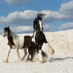 Ogiery gypsy cob bawiące się wśród białych piasków