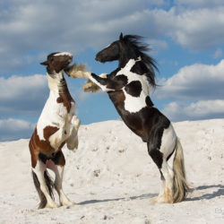 Gypsy Cob stallions fighting on the white sand