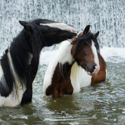 Gypsy Cob stallions playing next to the waterfall