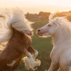 Gypsy Cob stallions fighting at sunset