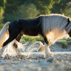 Gypy Cob stallion in the summer trotting through the river