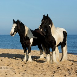 Tinkers geldings standing on the beach by the sea in autumn