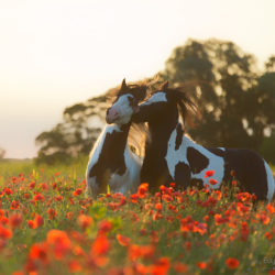 Gypsy Cob stallions playing among poppies