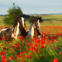 Gypsy Cob stallions trotting among poppies